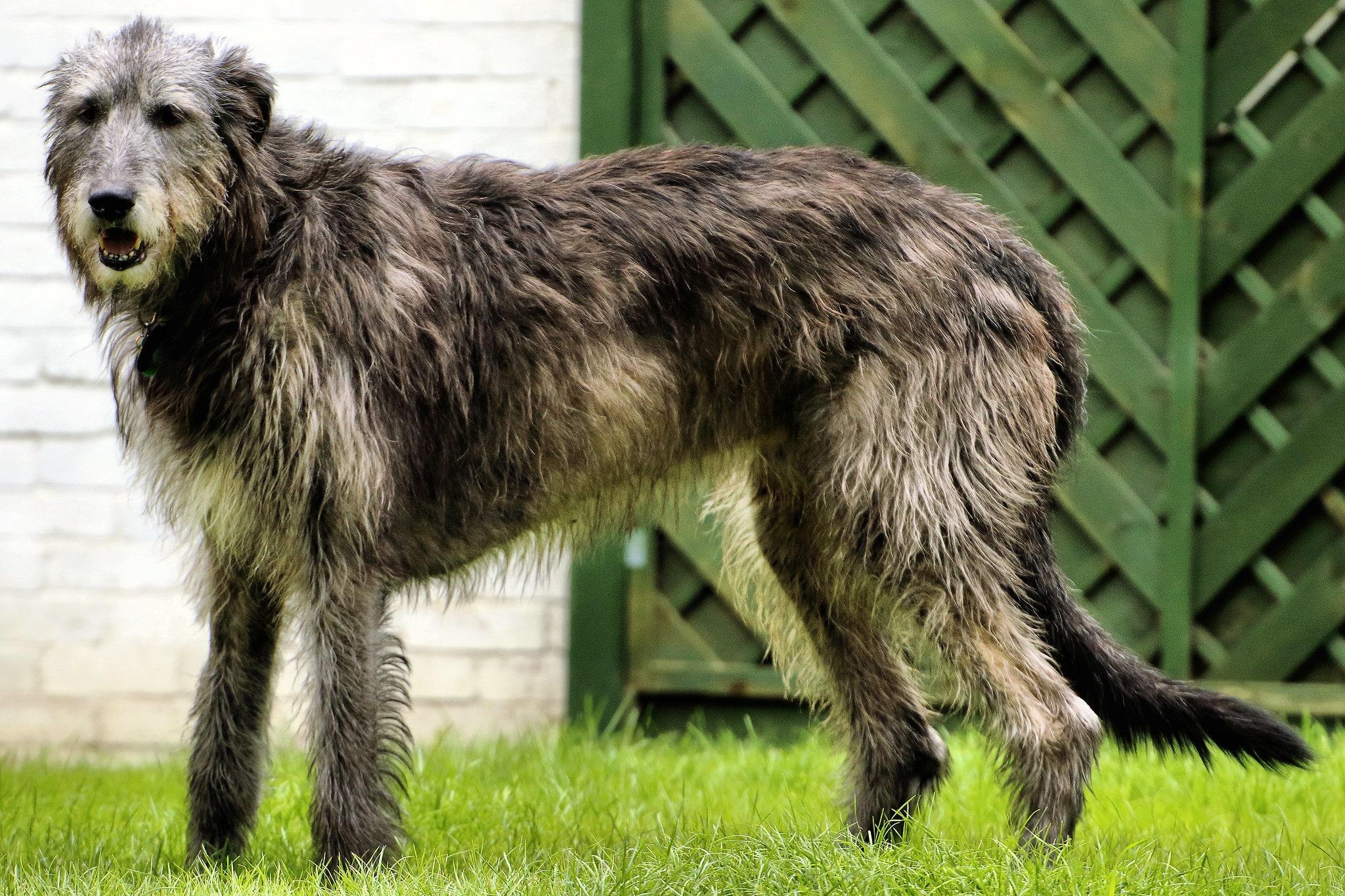 Ирландский волкодав