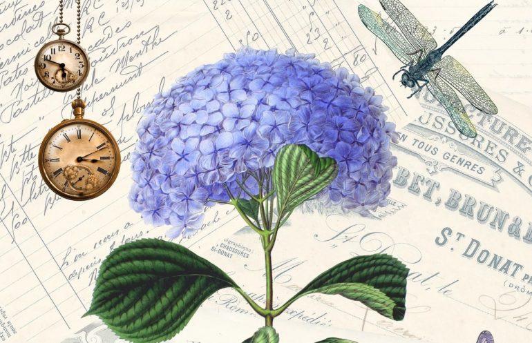 Ботаническое описание гортензии