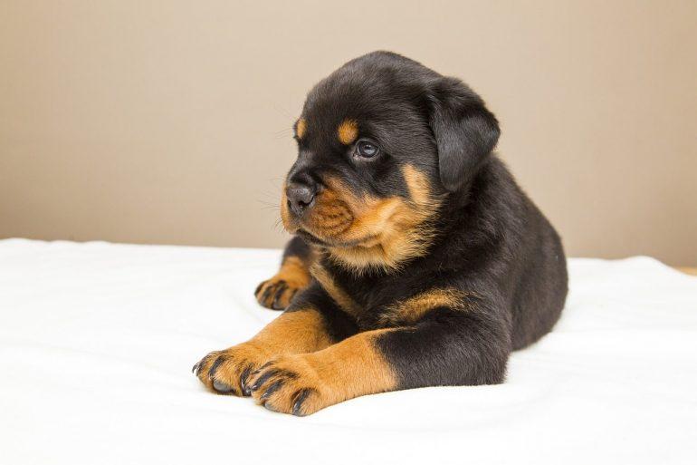 Как выбрать щенка ротвейлера