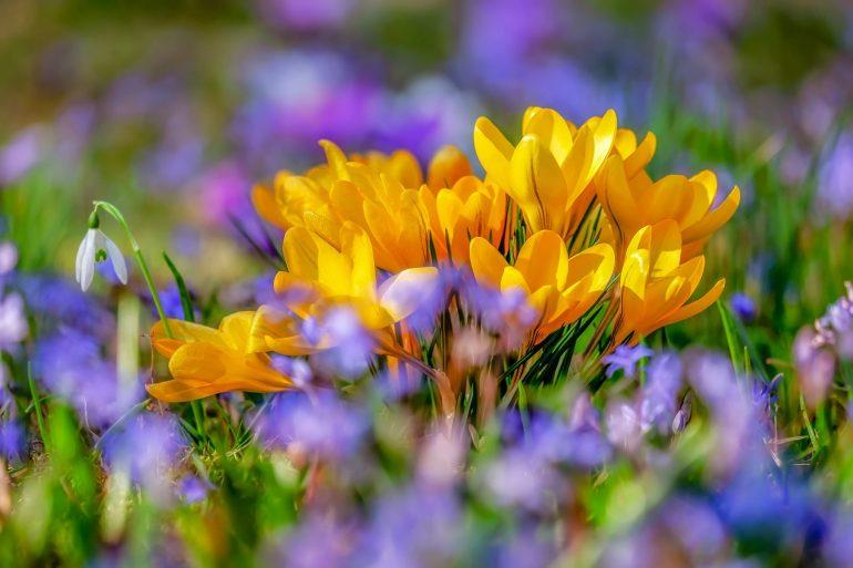 Шафран золотистоцветковый