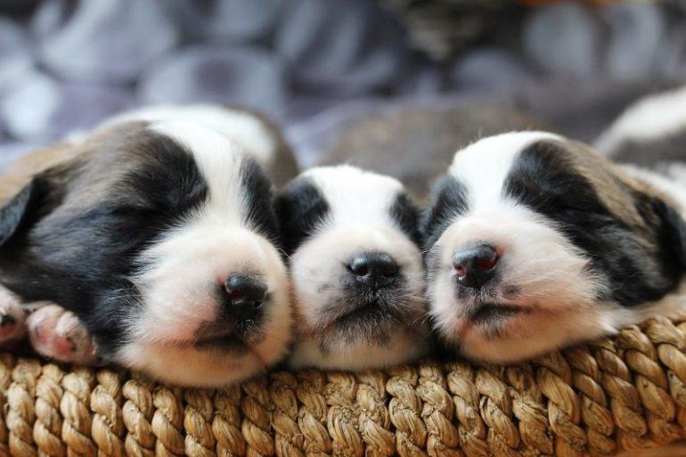 Как выбрать щенка сторожевой собаки