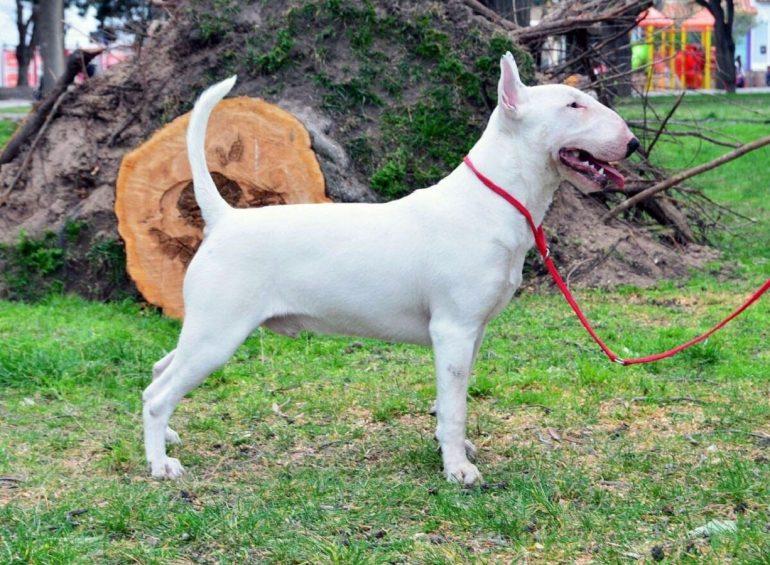 Собака бультерьер - воспитание и дрессировка