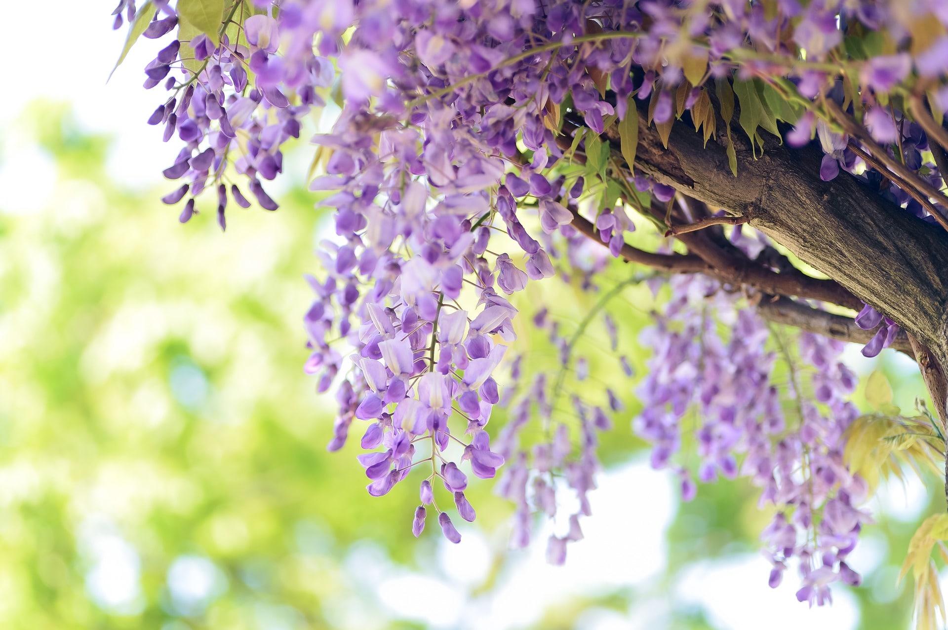 Цветок глициния