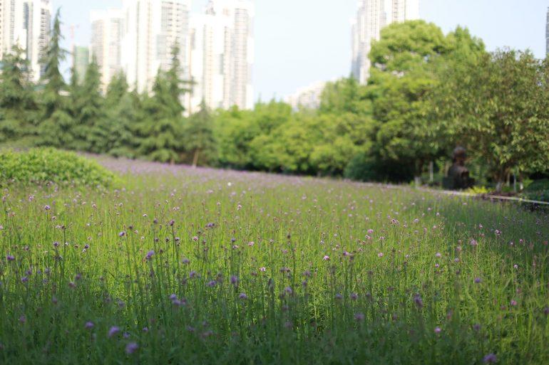 Как ухаживать за вербеной после цветения