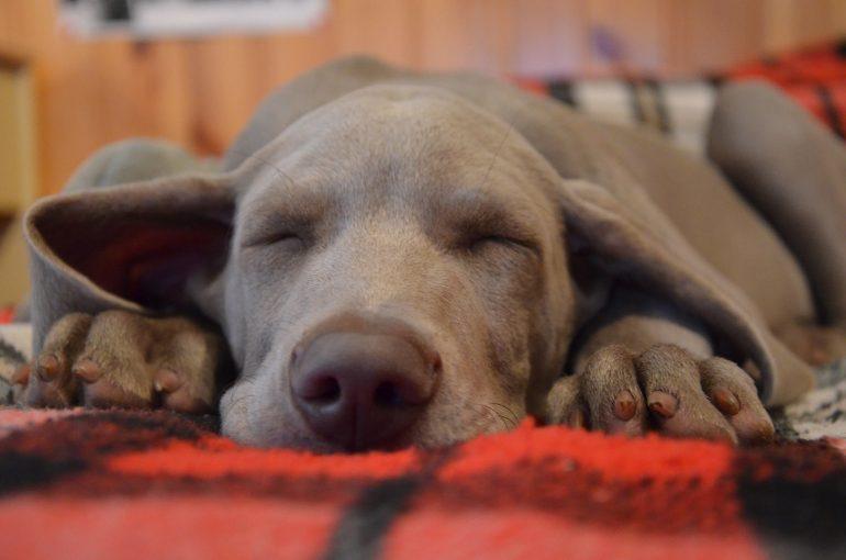 Как выбрать щенка веймаранер