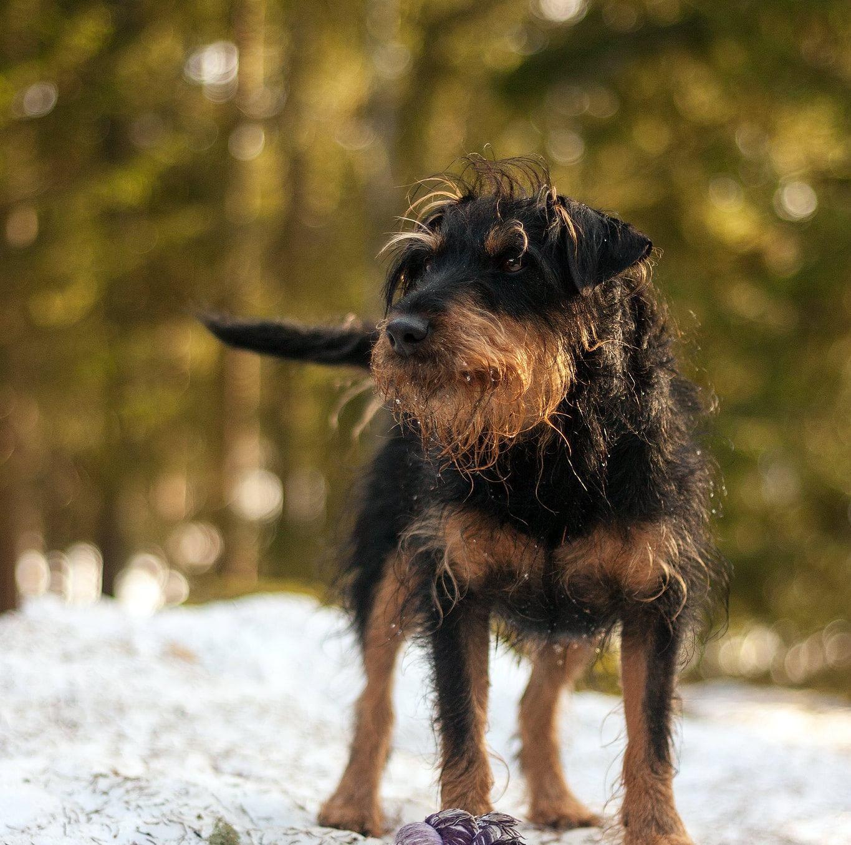 Собака ягдтерьер