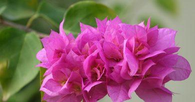 Цветок бугенвиллия