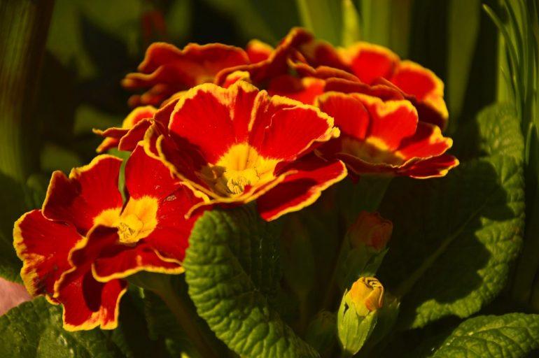 Цветение разных сортов