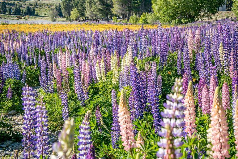 Как ухаживать за люпином после цветения
