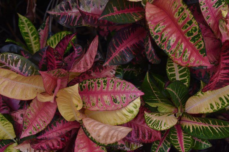 Цветок кротон