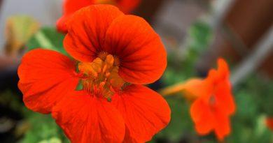 Цветок настурция