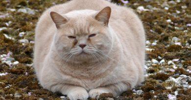 Как помочь кошке похудеть