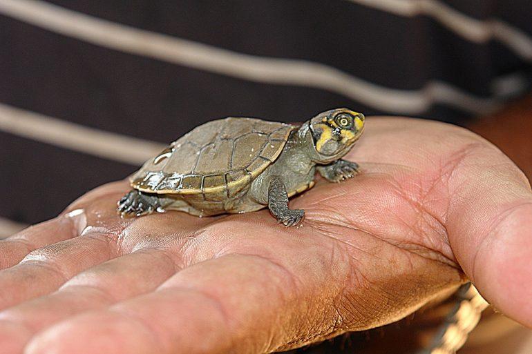Взять черепаху в дом