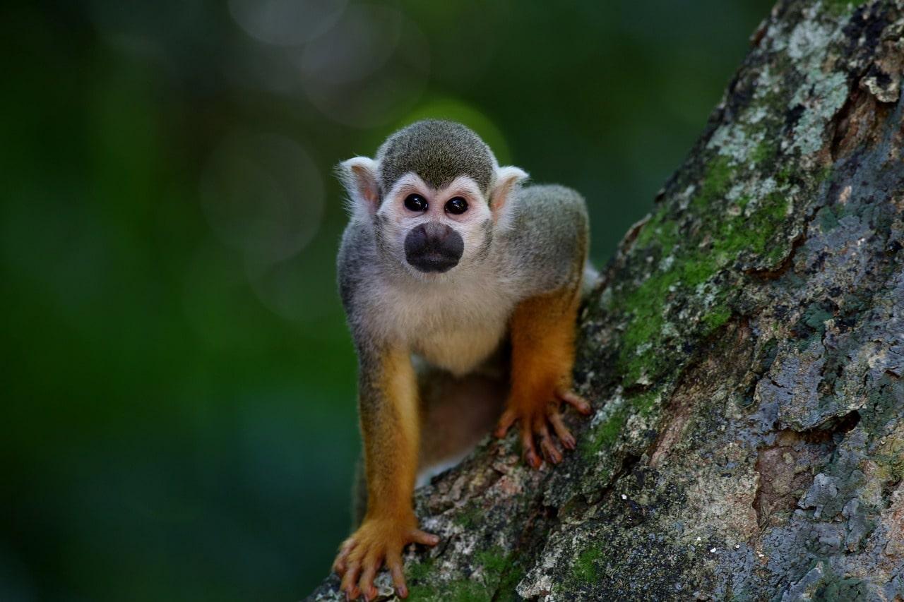 К чему снится обезьяна