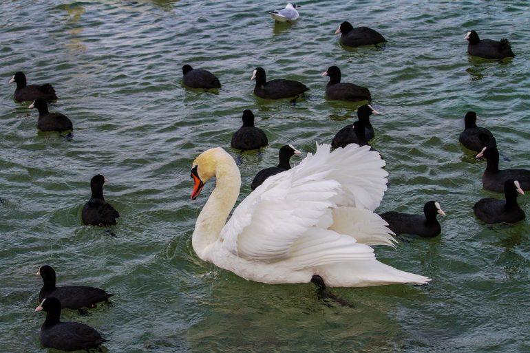Лебедь, окружённый утками