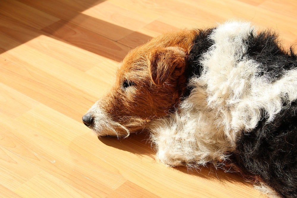 Собака фокстерьер
