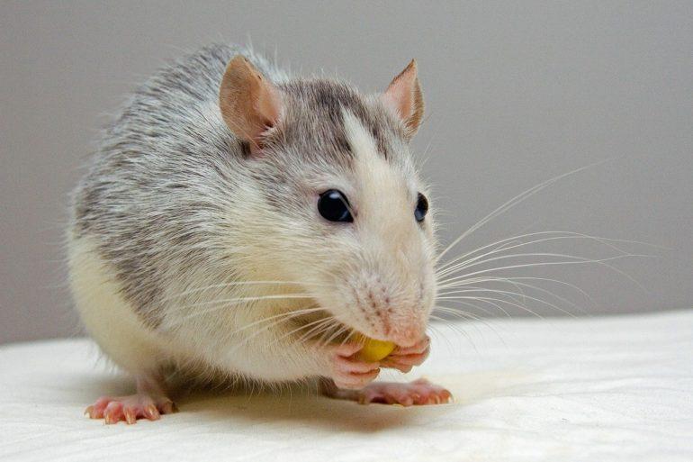 Весы-Крыса