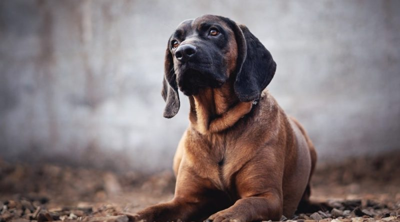 Собака бладхаунд