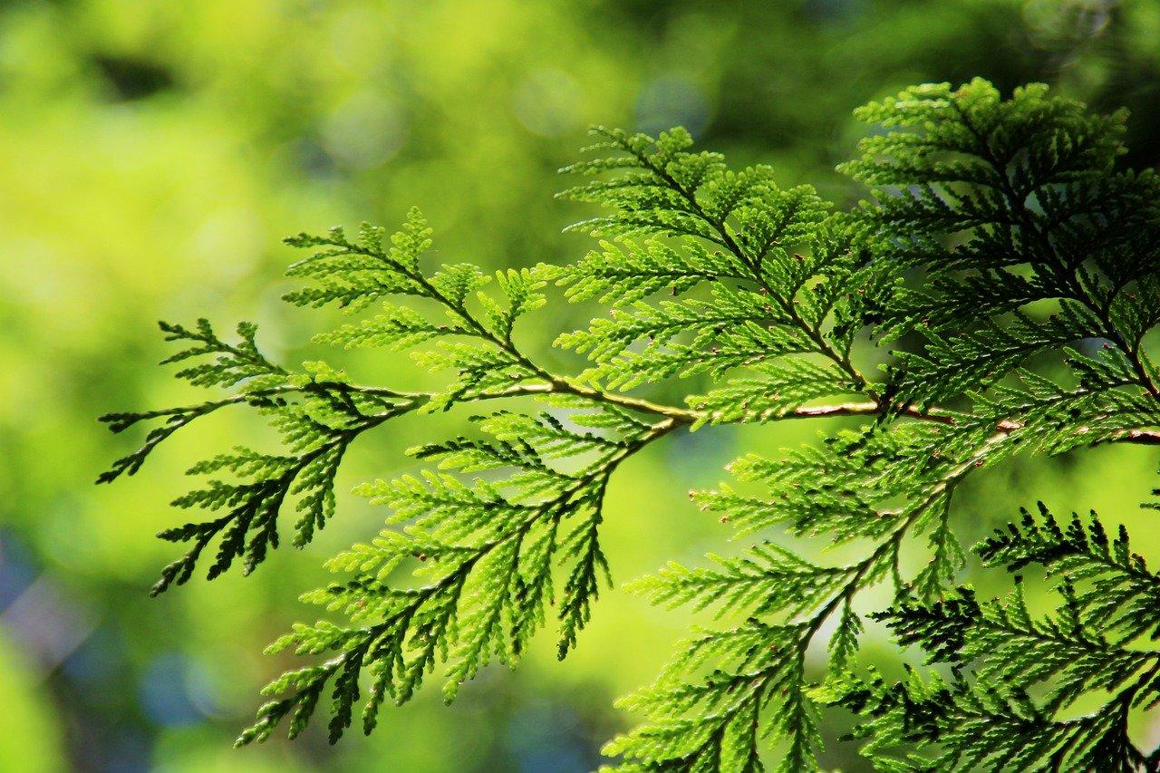 Дерево туя